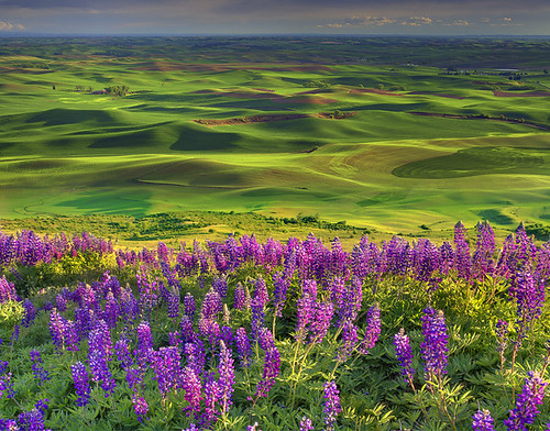 Lupine Spring In The Palouse