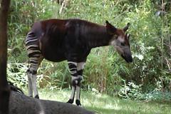 tapir(0.0), animal(1.0), zoo(1.0), okapi(1.0), fauna(1.0), giraffidae(1.0), safari(1.0), wildlife(1.0),