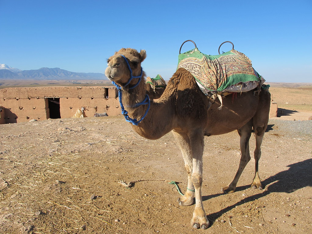 Cuddly Camel