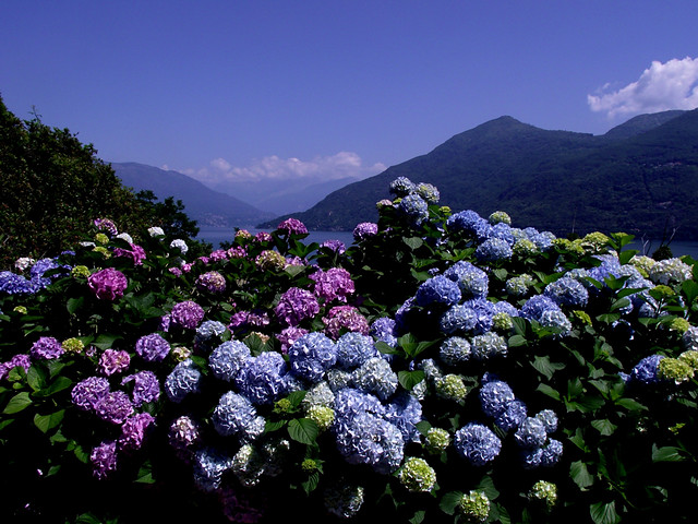 Ortensie Blu : Ortensie blu cannobio flickr photo sharing