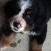 Bernese Mountain Dog: 8 Weeks