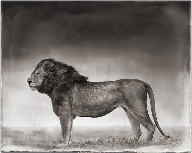 Portrait of Lion Standing in Wind, by Nick Brandt