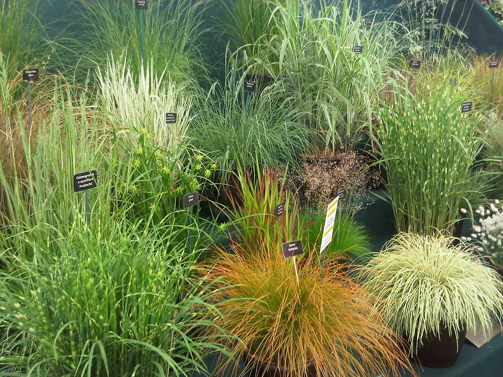Ornamental grasses flickr photo sharing for Small decorative grasses