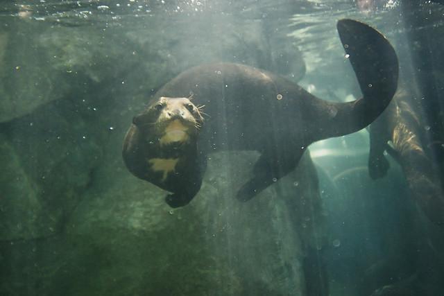 Otter underwate...