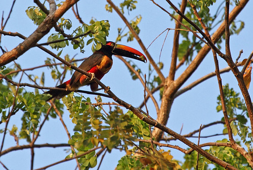Fiery-billed Aracari, Hacienda Baru