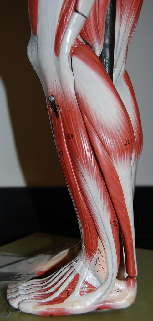 Muscles Of The Lower Leg Left Lateral View Rob Swatski Flickr