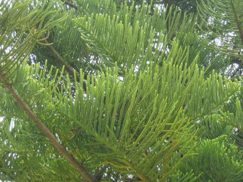 Araucaria heterophylla 2