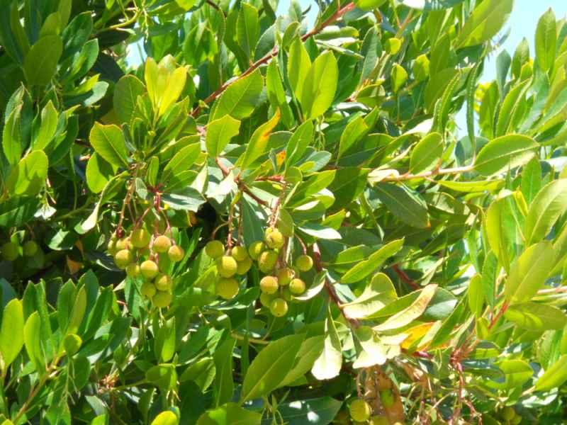 Arbustus unedo detalle 2