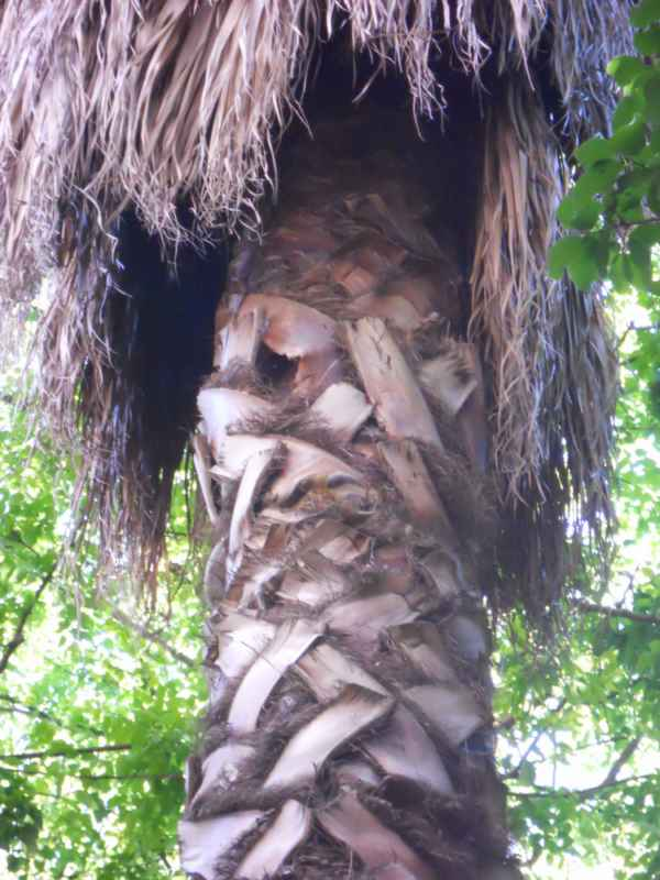 Washingtonia robusta detalle tronco v 4