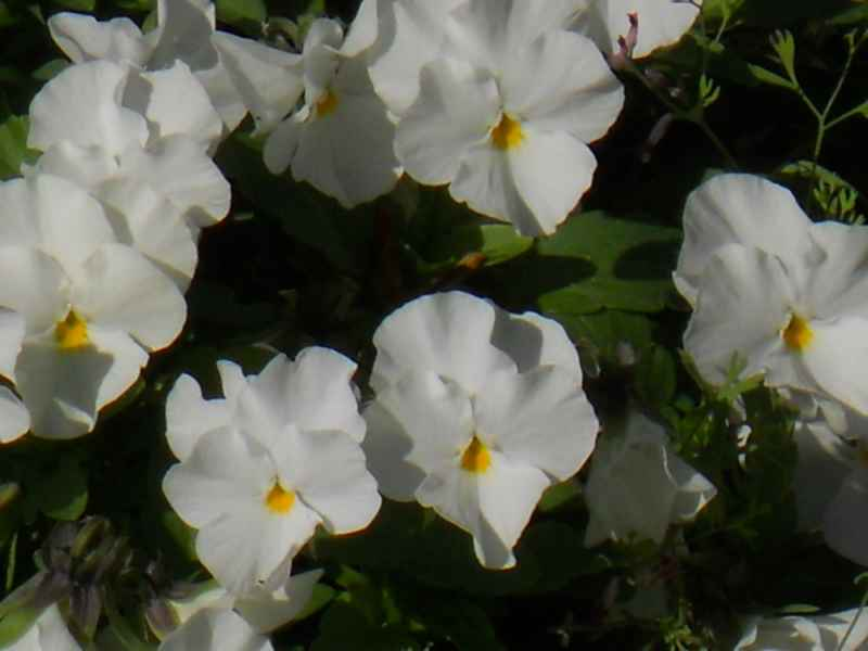 Viola cornuta blanca 2