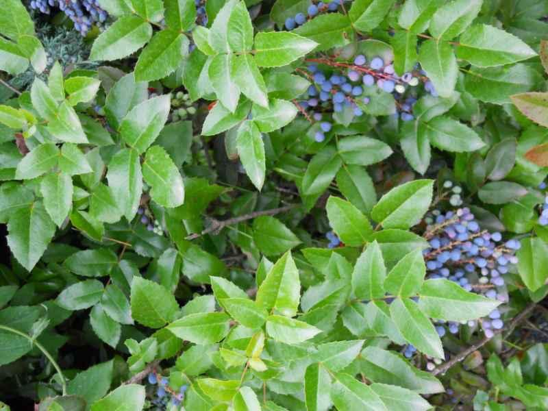 Mahonia japonica 4