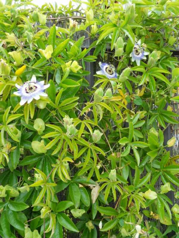 Passiflora caerulea v 2
