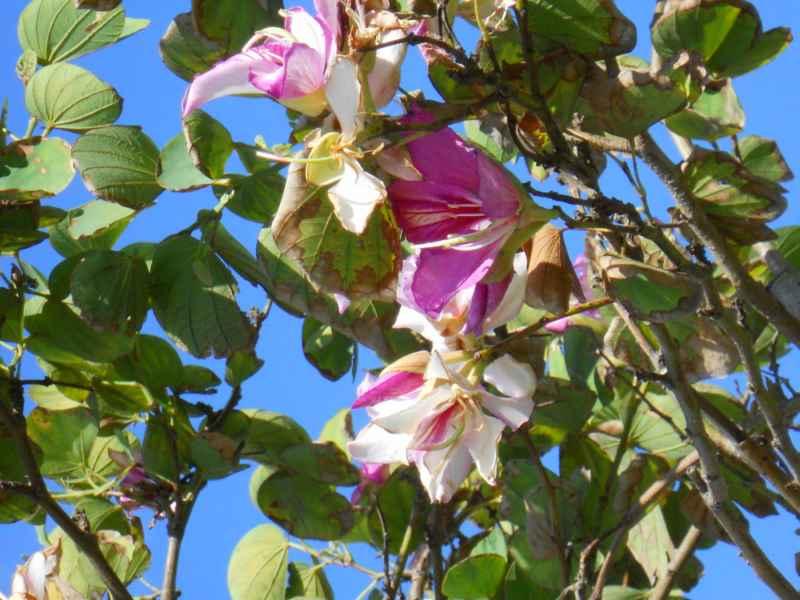 Bauhinia purpurea 3