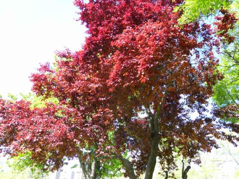 Prunus cerasifera arbolito 1