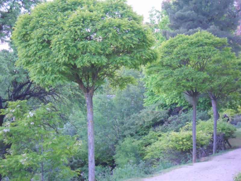 Robinia pseudoacacia 'Umbraculifera' 2
