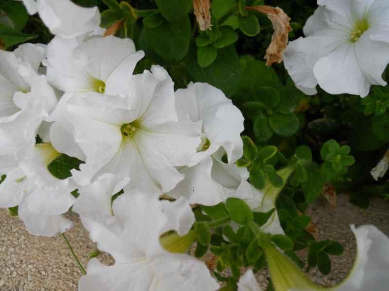 Petunia x hybrida 2