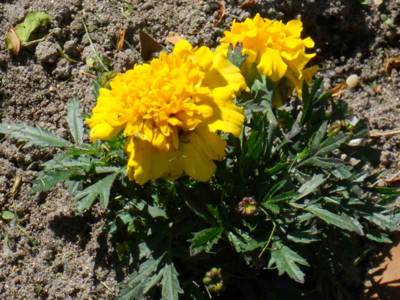 Tagetes erecta.. amarillo 1