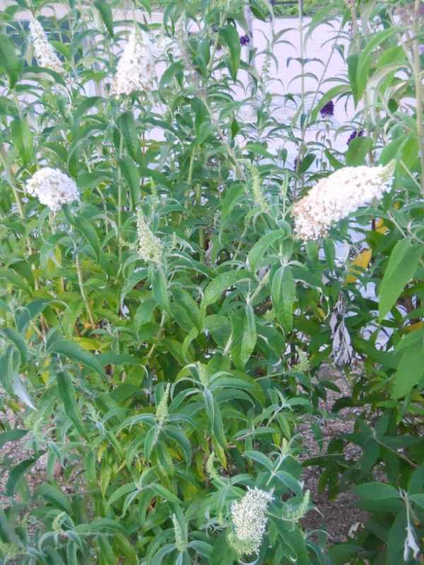 Buddleja davidii 'White Bouquet' v 2