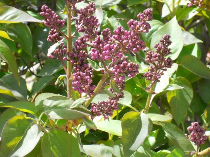 Syringa vulgaris detalle 4