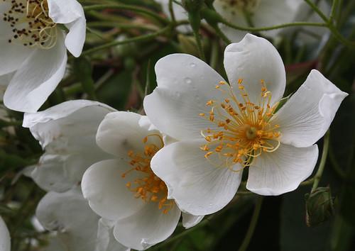 Rambler Rose, Rosa multiflora