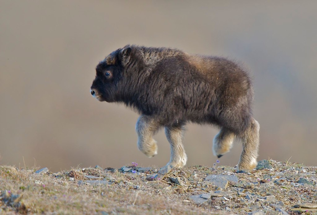 Picture of the Day: Look at This Baby Muskox