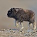 A baby Musk Ox just a few weeks old. by kokesch