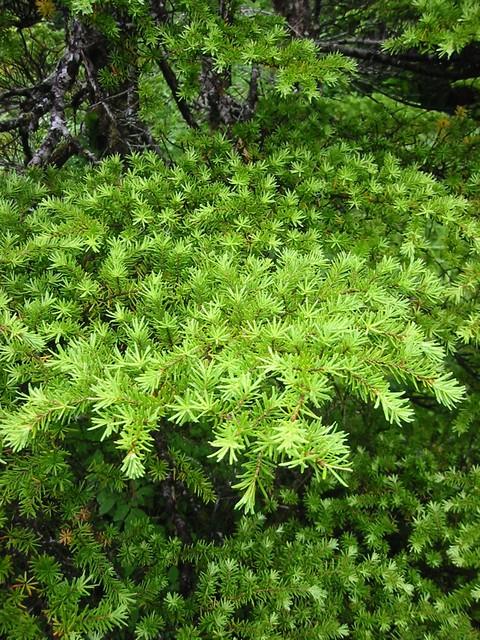 hemlock or spruce