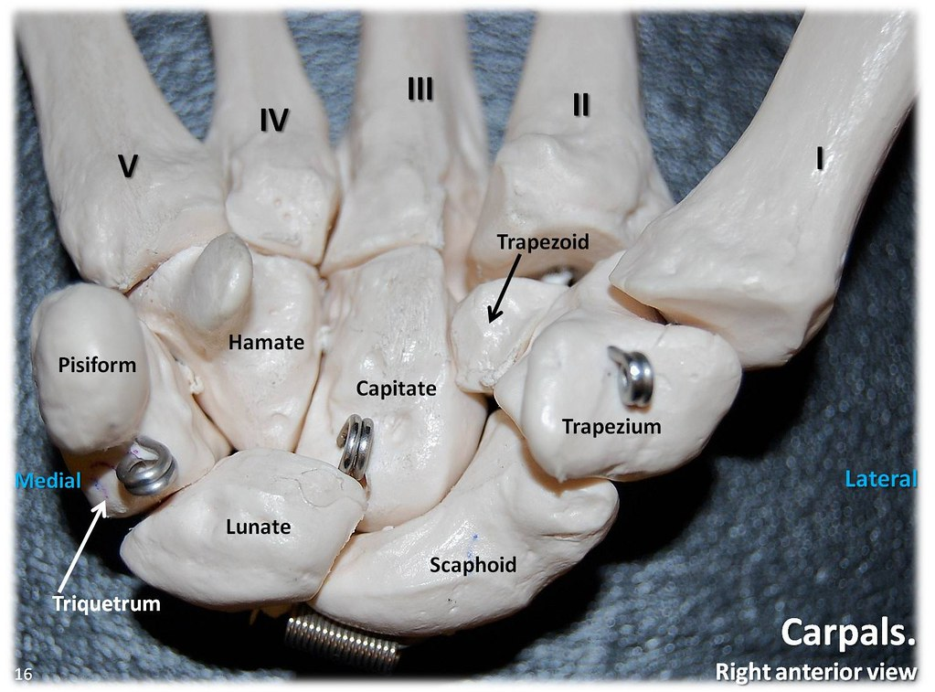 Carpals  Anterior View With Labels