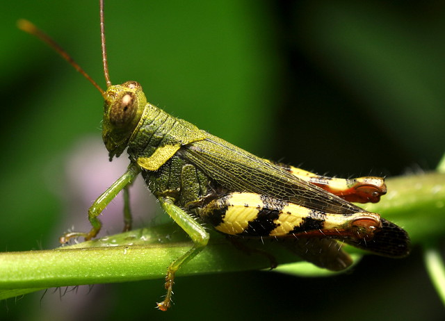 Grasshopper - 1