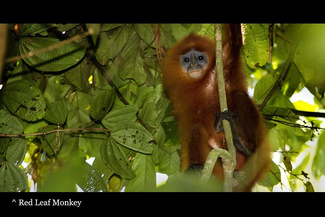 80_monkeyredleaf