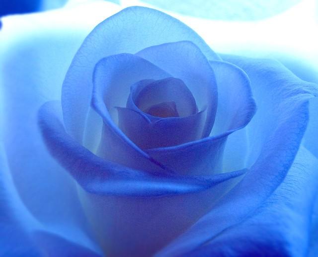 Light Blue Roses