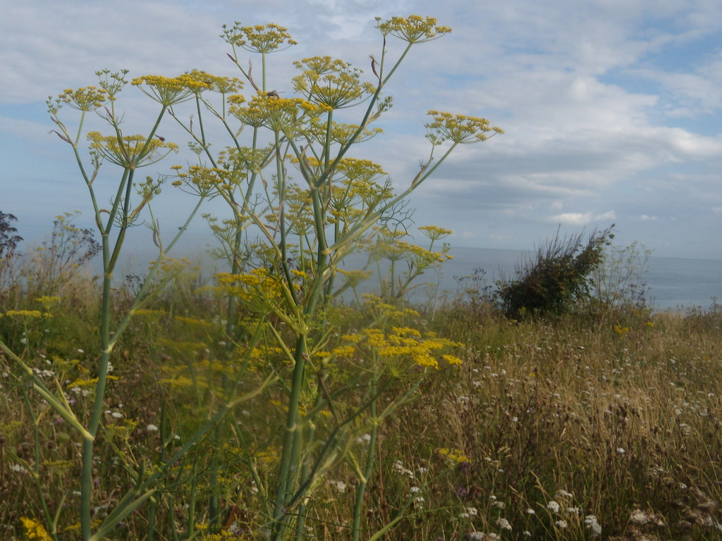 Fennel Ramsgate to Margate