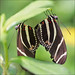 Zebra Longwings in Love