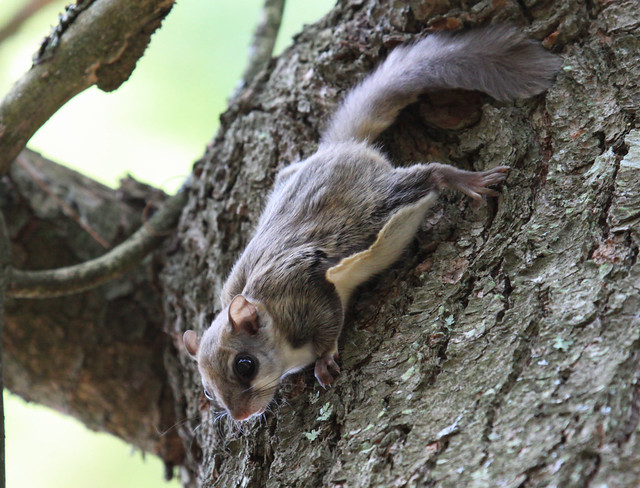 Rocky the Baby  Flying Squirrel