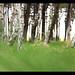 the white birch by Peter Przybille