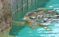 100_6189 Sea Turtle