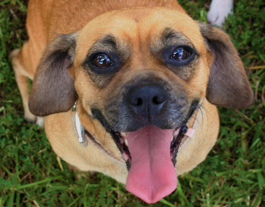 Puggle Puppy Adoption | PUGGLE PUPPY ADOPTION