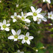 Sandwort - Photo (c) Arthur Chapman, some rights reserved (CC BY-NC-SA)