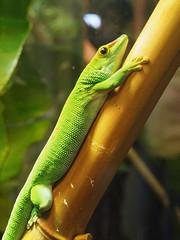 amphibian(0.0), western green mamba(0.0), tree frog(0.0), african chameleon(0.0), mamba(0.0), animal(1.0), green lizard(1.0), reptile(1.0), lizard(1.0), macro photography(1.0), green(1.0), fauna(1.0), lacerta(1.0), american chameleon(1.0), lacertidae(1.0), dactyloidae(1.0), scaled reptile(1.0),