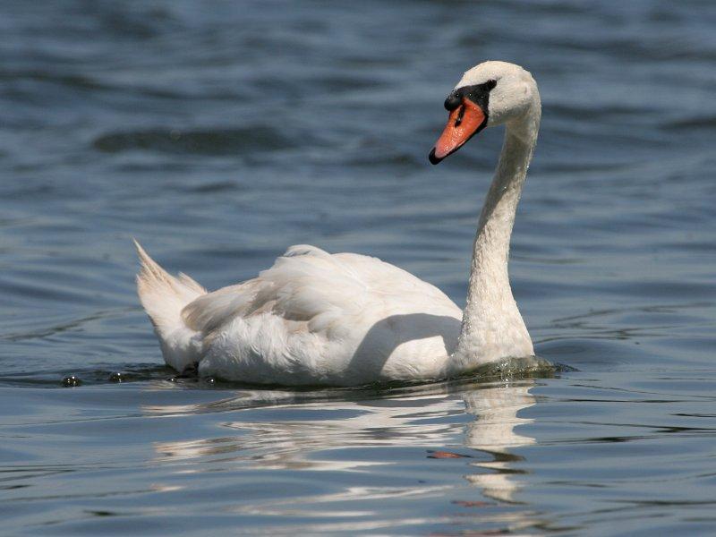 Фотография 'Лебедь-шипун'