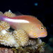 Hawkfishes - Photo (c) Klaus Stiefel, some rights reserved (CC BY-NC)