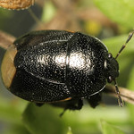 Legnotus picipes