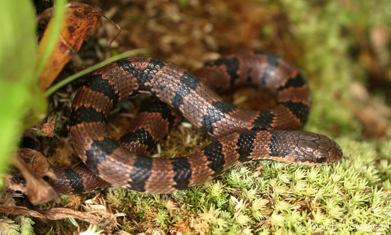 Juvenile Scorpion Eating Snake Stenorrhina Degenhardtii