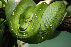 animal, serpent, western green mamba, snake, reptile, macro photography, green, fauna, close-up, scaled reptile,