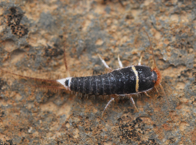 Unusually colourful desert silverfish (Order Thysanura)