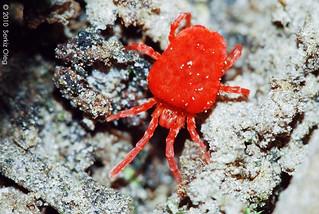 Red Velvet Mite (Trombiculidae)