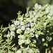 One-seed Juniper - Photo (c) Paul Asman and Jill Lenoble, some rights reserved (CC BY)