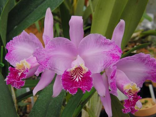C. lueddemanniana f. flamea 'Ken' by mytorchid