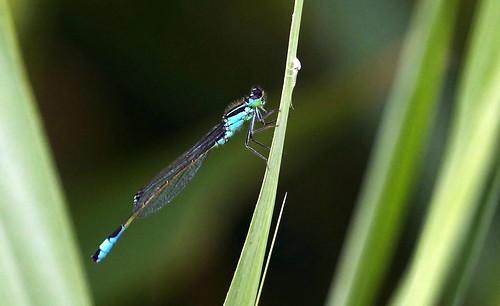 Ischnura elegans, Agrion élégant mâle_41