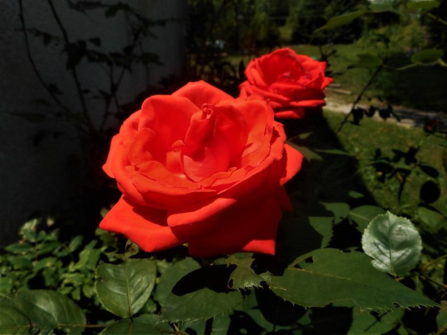 Blood red rose, the, Nikon COOLPIX S3700